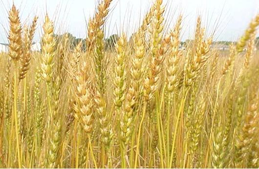 مصر تشتري 175 ألف طن من القمح في مناقصة