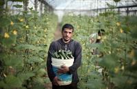 بعد 7 سنوات من المنع ... خضروات غزة في الضفة