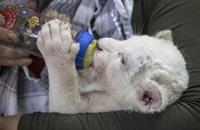 ولادة شبل أبيض نادر بحديقة للحيوان في نبراسكا