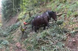 خيول في فرنسا تتولى مهمة الحفاظ على غابة قديمة