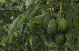 """زراعة الأفوكادو """"حمى خضراء"""" تجتاح المكسيك"""