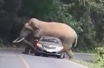 فيل يجلس فوق سيارة ويقطع الطريق.. هذه هي النهاية (شاهد)