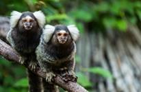 دراسة: القرود تتعلم لغة سكان أهل المنطقة التي يعيشون فيها