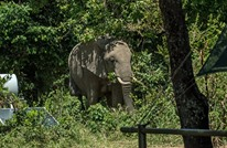فيل يحاول الاختباء خلف عمود بعد سرقته قصب السكر (صورة)