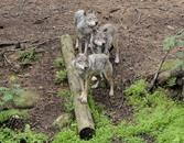 كندا تعتزم القضاء على 184 ذئبا رماديا لحماية الرنة