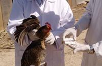خشية من تفشي إنفلونزا الطيور بمقاطعة روسية