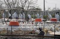 تفشي إنفلونزا الطيور في بريطانيا واليابان وإعدامات بالجملة
