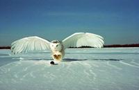 تكرار ظهور بومة الثلج بالأمريكتين.. لغز لا يجد تفسيرا