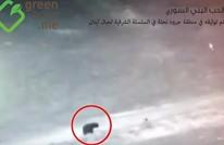 ظهور دببة في لبنان لأول مرة منذ 60 عاما (فيديو)