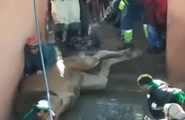 """مغاربة يعذبون ناقة """"تقربا للأولياء"""" ونشطاء يستنكرون (شاهد)"""