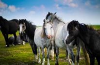 دراسة: الأحصنة قتلت بشرا أكثر من الأفاعي والعناكب بأستراليا