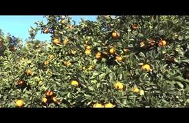 """""""عاصمة البرتقال"""" بتونس """"تعتصر"""" ألما من غياب المشترين"""