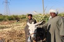 """من هي الجهة الخفية المتكسبة من أزمة """"قصب السكر"""" في مصر؟"""