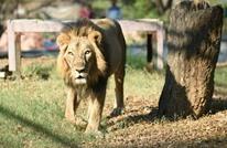الحكم على أمريكي قتل أسدا بالسجن والخدمة بملجأ للحيوانات