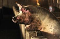 تغذية الخنازير بأمريكا على الروث وبقايا صغارها النافقة
