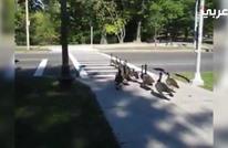 عندما تعطينا الطيور درسا في عبور الشوارع.. شاهد الفيديو