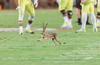 أشهر الحشرات والحيوانات في ملاعب كرة القدم (شاهد)