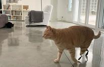 قطة بأطراف صناعية تتحول لنجمة على مواقع التواصل (شاهد)