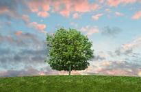 هكذا يمكن لشجرة دائمة الخضرة أن تنقذ حياتك