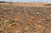 الجراد يجتاح محافظة القصيم في السعودية (شاهد)