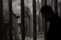 فيل ضخم يدهس مدربه حتى الموت في الصين (شاهد)