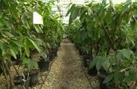 بيوت بلاستيكية في إنجلترا لحماية الكاكاو من الآفات