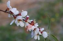 قبيل فصل الربيع.. تفتح أزهار خضار وفاكهة فلسطينية (صور)