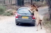 أسد يهاجم سيارة عائلة في الهند.. ماذا حصل؟ (فيديو)