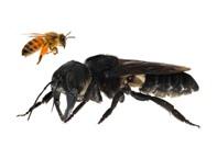 علماء يعثرون على نحلة عملاقة بعد فقدانها لعقود