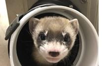 علماء يتمكنون من استنساخ حيوان من آخر نفق قبل 30 عاما