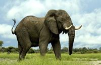 دراسة: الفيل يميز بين لغات البشر