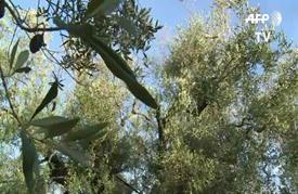 بكتيريا تتسبب بيباس أشجار الزيتون المعمرة في جنوب شرق إيطاليا