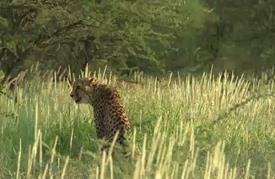 ناشطة بيئية تكافح في سبيل حماية الفهود الإفريقية من الانقراض