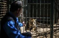 """غزة.. """"الجمل"""" يبيع منزله لشراء """"نمر"""" (فيديو)"""