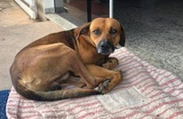 كلب يرابط أمام المستشفى لـ4 أشهر منتظرا صاحبه المتوفى