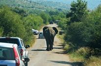 مرض غامض يفتك بـ350 فيلا أفريقيا في بوتسوانا (شاهد)