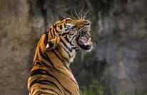 كورونا يصل إلى النمور في أمريكا.. ونداءات للابتعاد عن الحيوانات