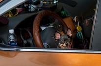القبض على أمريكي حاول تعليم كلبه قيادة السيارة