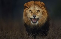 من أجل صورة أسد.. مصور يغامر بحياته