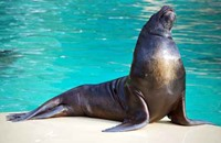 أسد البحر يجذب رجلا من على ظهر زورق في كاليفورنيا