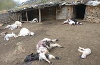 تركي يقتل 239 رأسا من الماعز نكاية بوالده (فيديو)