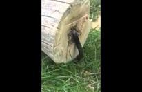 رجل يعثر على مفاجأة داخل شجرة قطعها نصفين (شاهد)