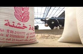 """القمح """"منتهي الصلاحية"""" يُشبع مواشي غزة"""