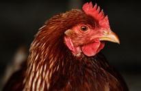 السجن لفرنسي ضبط في وضع مخل مع دجاجة