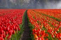 ملايين أزهار التوليب تتفتح باسطنبول إيذانا ببدء الربيع