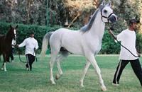 مصر تقيم مهرجانا للخيول العربية بعد انقطاع طويل