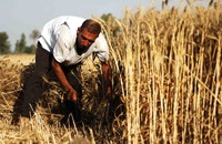 كيف تعاقب مصر مزارعي القمح وتكافئ مافيا الاستيراد؟