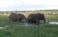 الفيلة في بوتسوانا.. مصدر عائدات أو إزعاج