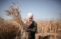 """مزارعو حدود غزة يحصدون القمح ويواجهون """"رصاص الموت"""""""