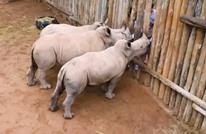 صغار وحيد القرن تبكي بطريقة مفجعة.. ما السبب؟ (شاهد)